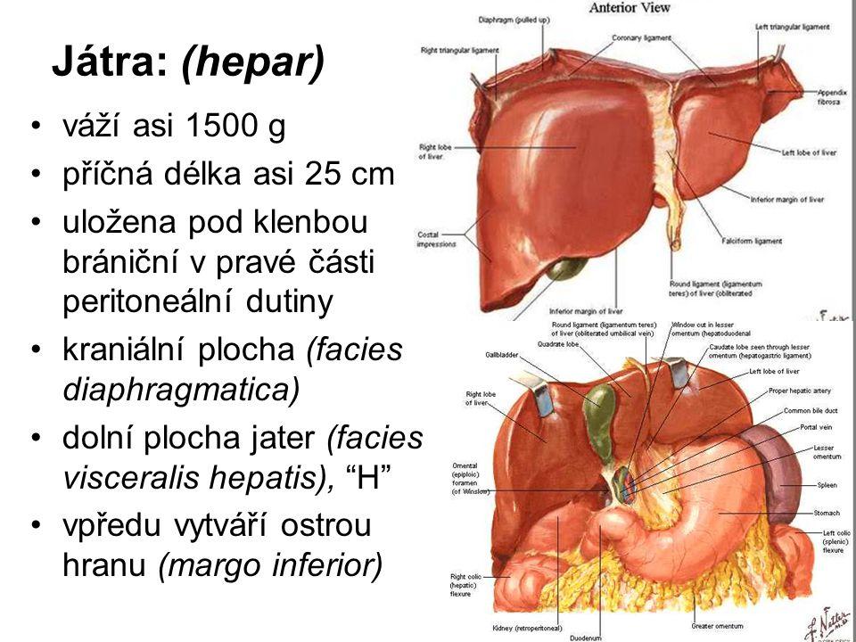 Játra: (hepar) váží asi 1500 g příčná délka asi 25 cm