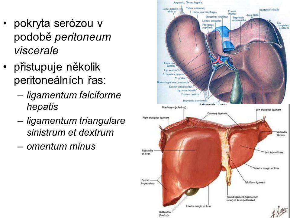 pokryta serózou v podobě peritoneum viscerale