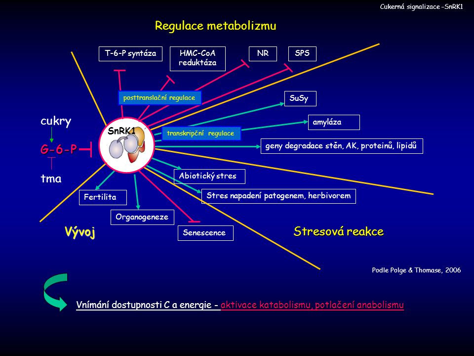Regulace metabolizmu cukry G-6-P tma Vývoj Stresová reakce SnRK1