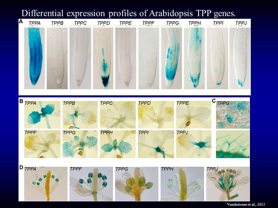 Differential expression profiles of Arabidopsis TPP genes.