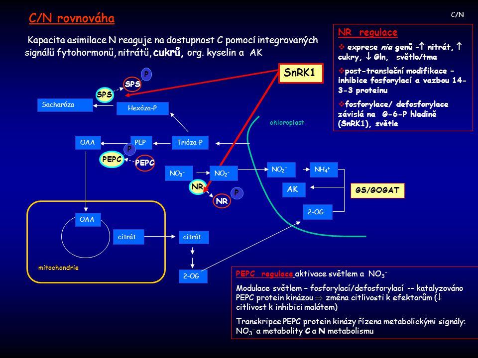 C/N rovnováha SnRK1 NR regulace