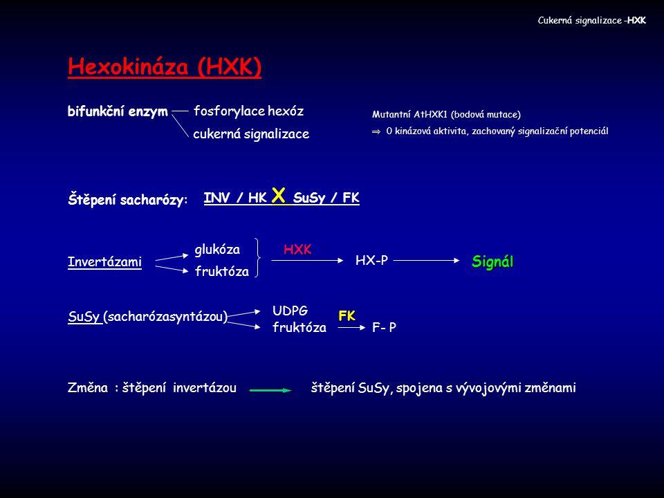 Hexokináza (HXK) Signál bifunkční enzym fosforylace hexóz