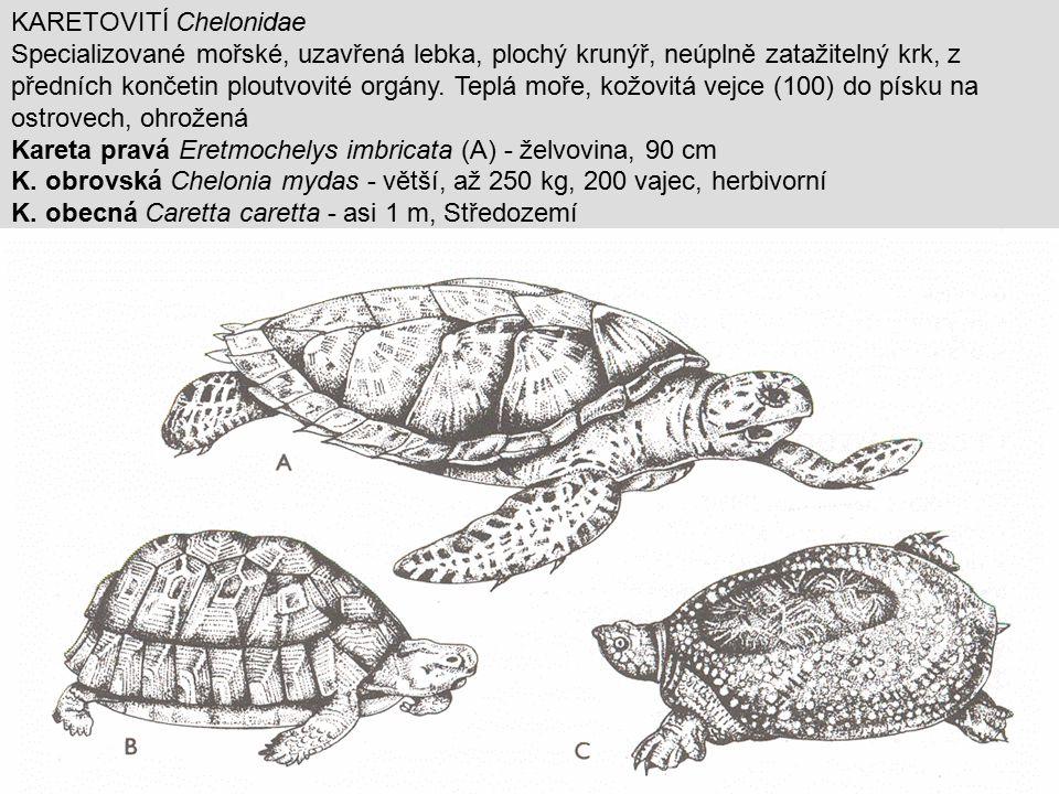 KARETOVITÍ Chelonidae