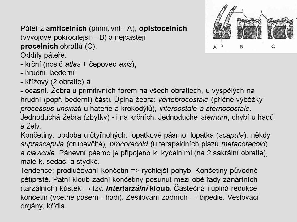 Páteř z amficelních (primitivní - A), opistocelních