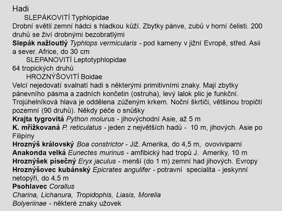 Hadi SLEPÁKOVITÍ Typhlopidae