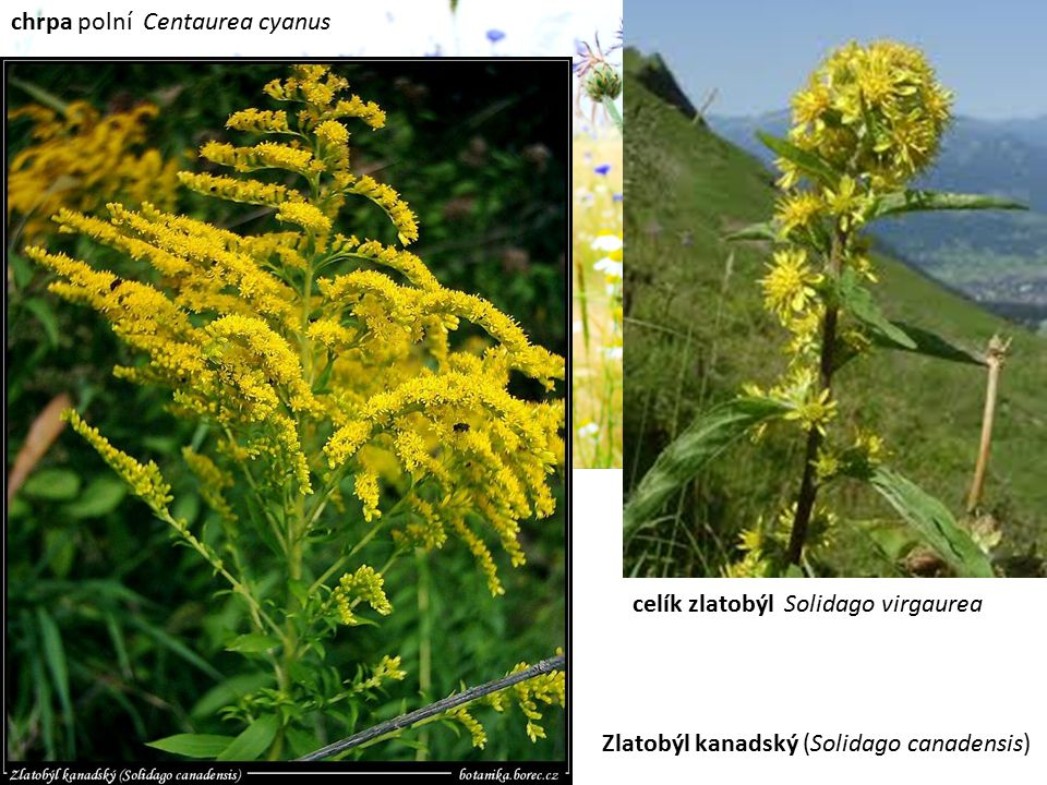 chrpa polní Centaurea cyanus