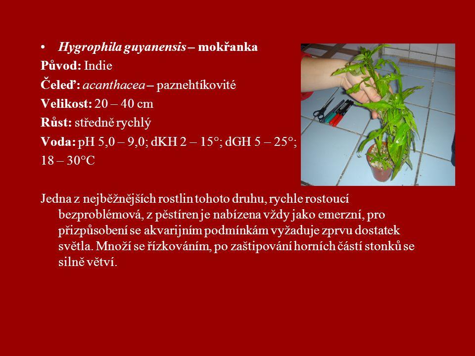 Hygrophila guyanensis – mokřanka