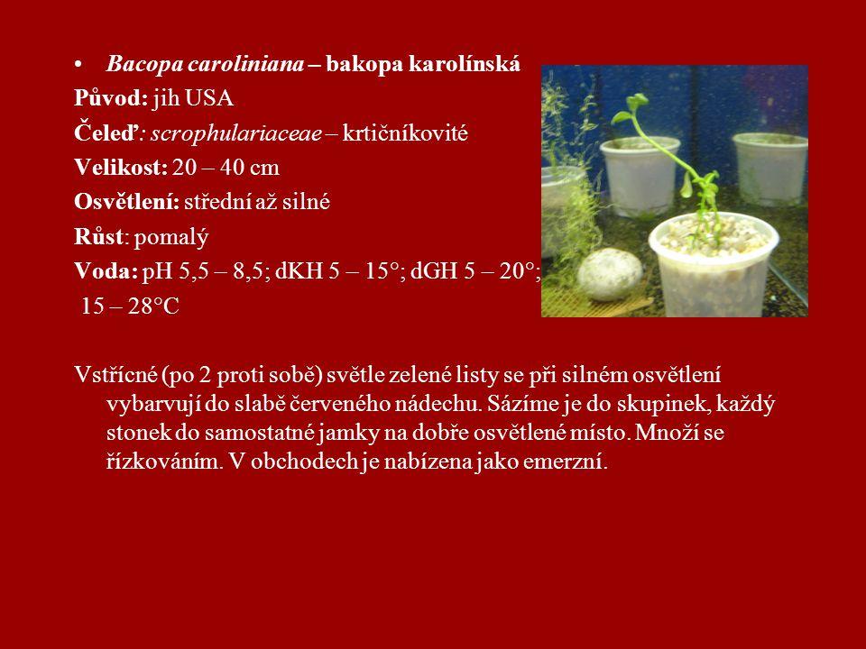 Bacopa caroliniana – bakopa karolínská