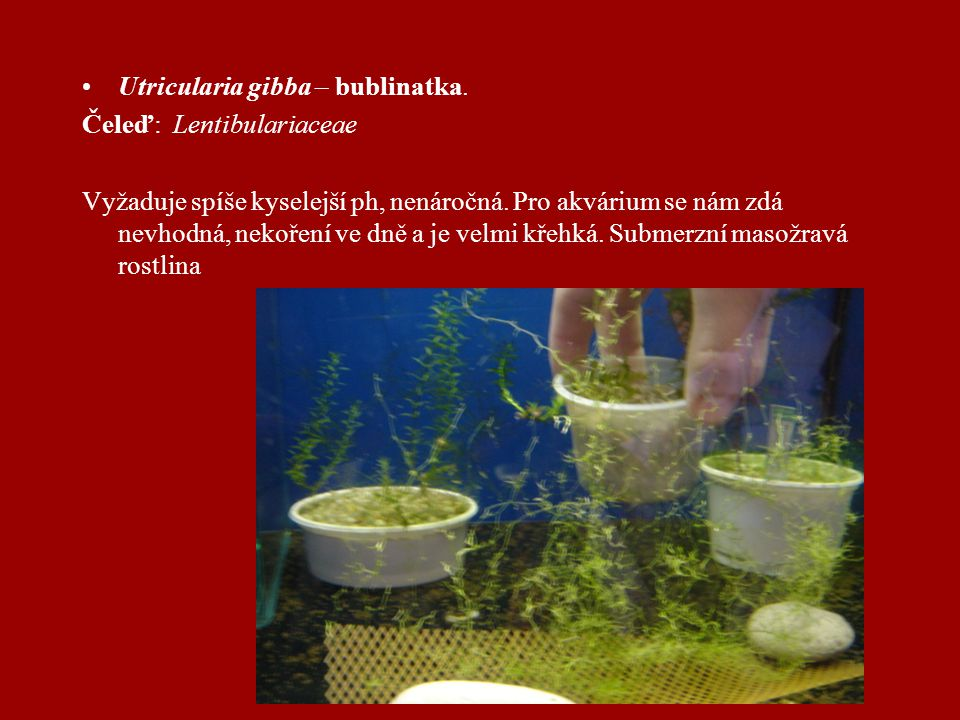 Utricularia gibba – bublinatka.