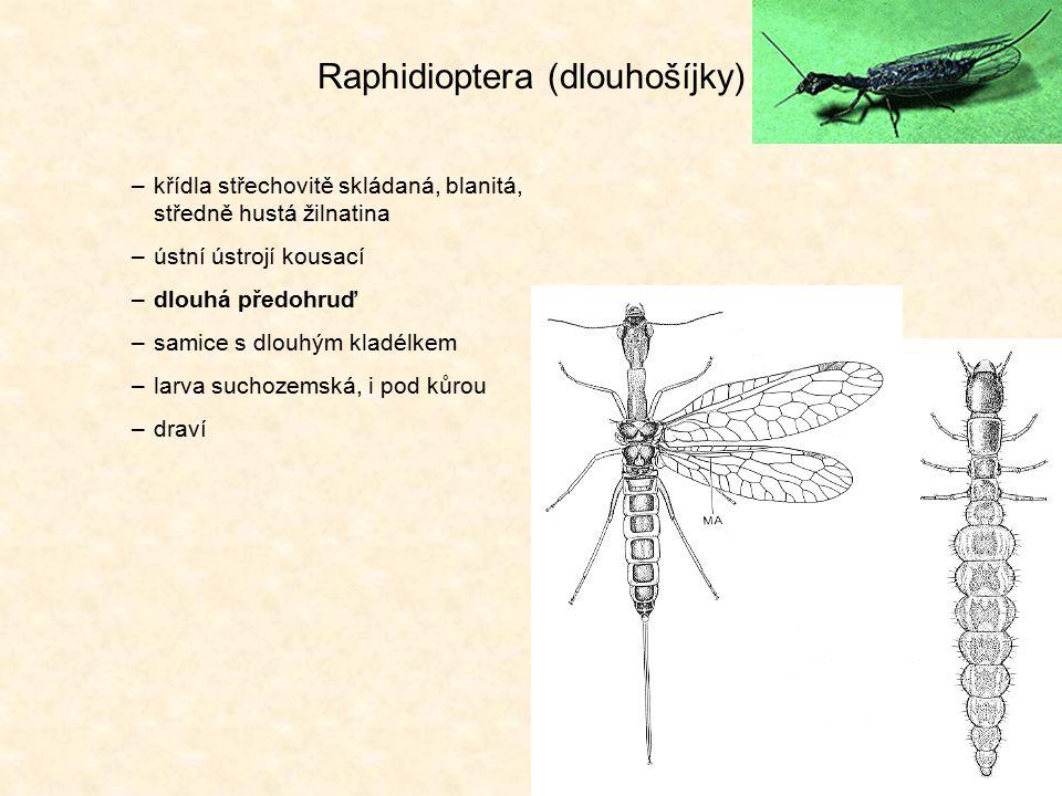 Raphidioptera (dlouhošíjky)