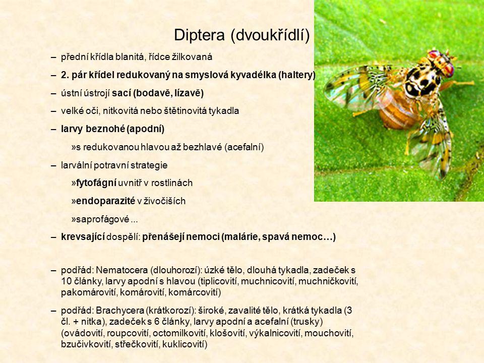 Diptera (dvoukřídlí) přední křídla blanitá, řídce žilkovaná