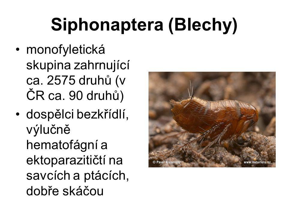 Siphonaptera (Blechy)