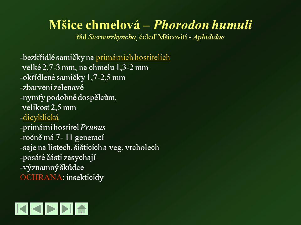 Mšice chmelová – Phorodon humuli řád Sternorrhyncha, čeleď Mšicovití - Aphididae