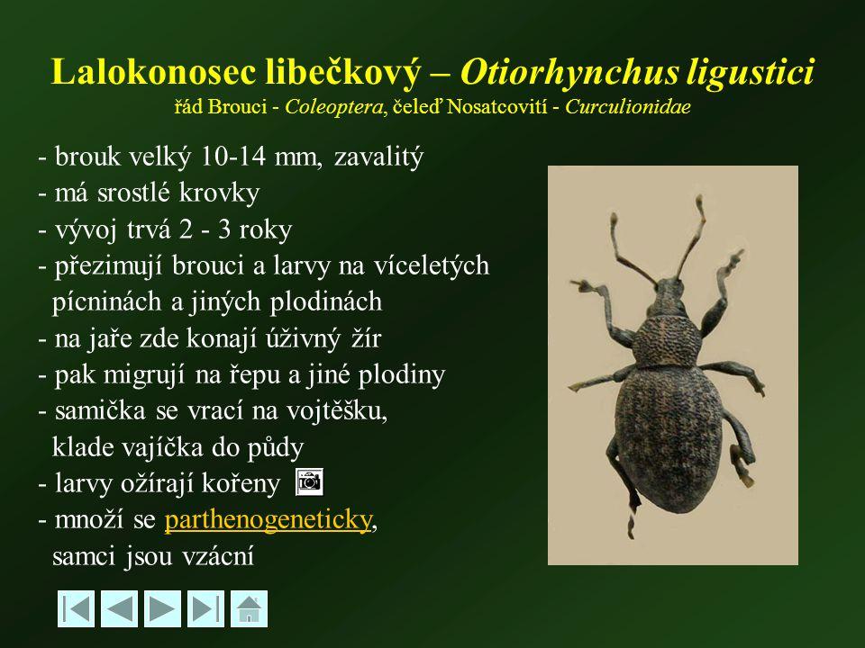 Lalokonosec libečkový – Otiorhynchus ligustici řád Brouci - Coleoptera, čeleď Nosatcovití - Curculionidae