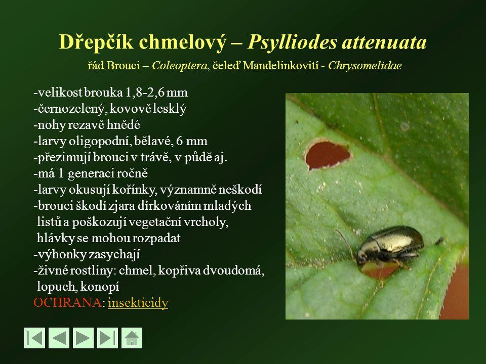 Dřepčík chmelový – Psylliodes attenuata řád Brouci – Coleoptera, čeleď Mandelinkovití - Chrysomelidae