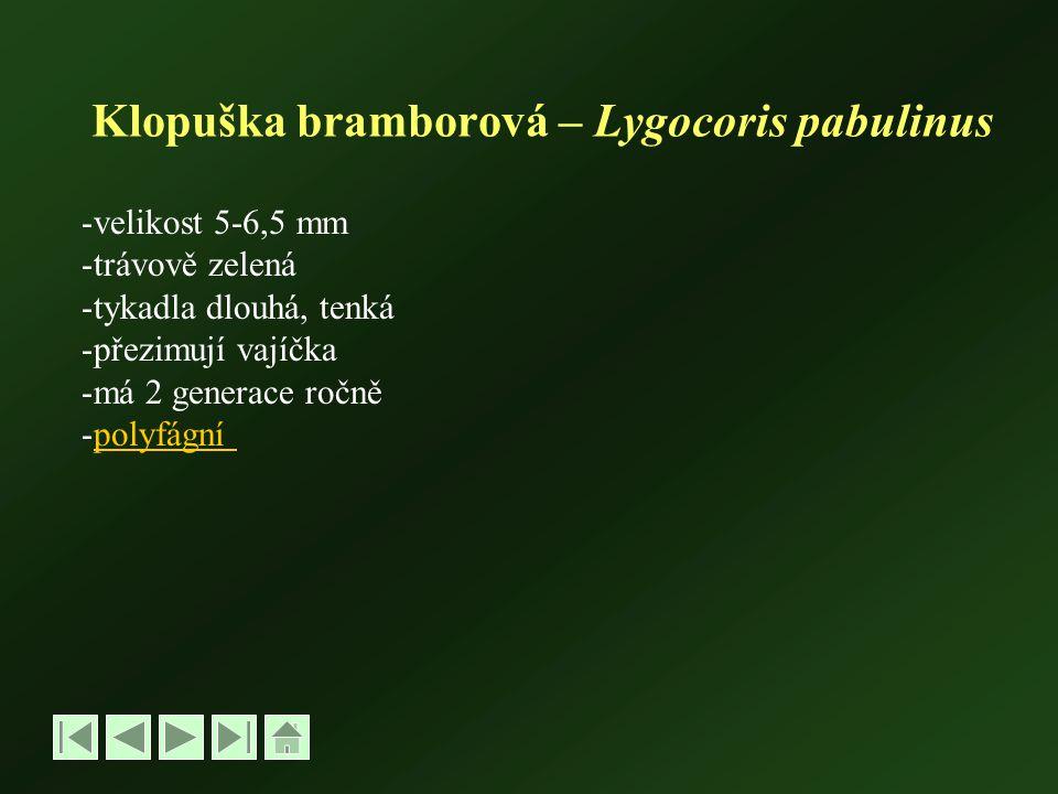 Klopuška bramborová – Lygocoris pabulinus