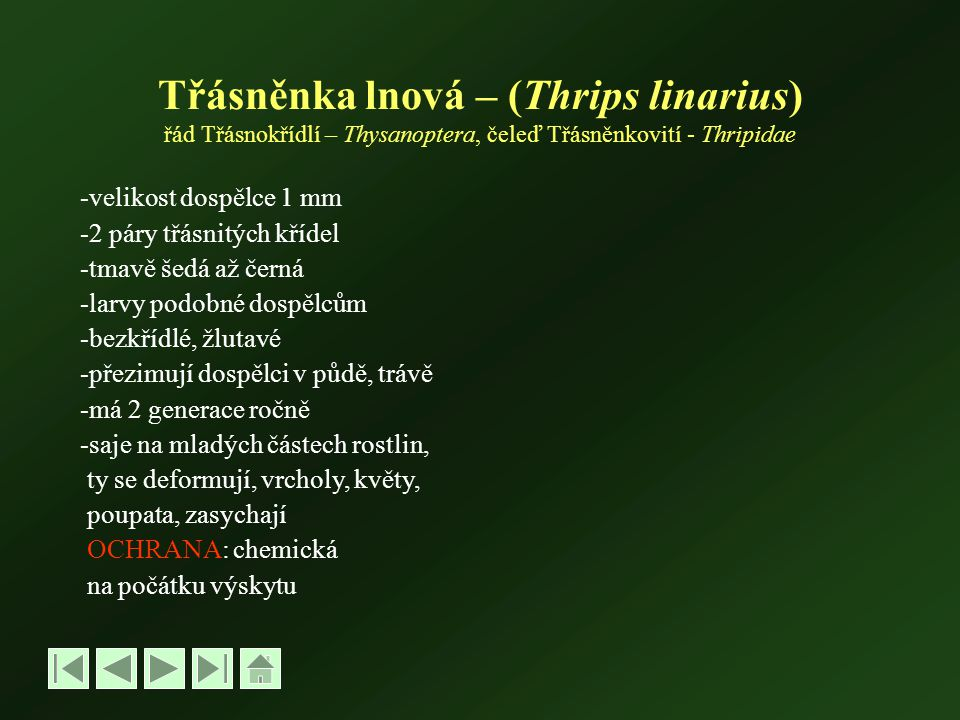 Třásněnka lnová – (Thrips linarius) řád Třásnokřídlí – Thysanoptera, čeleď Třásněnkovití - Thripidae