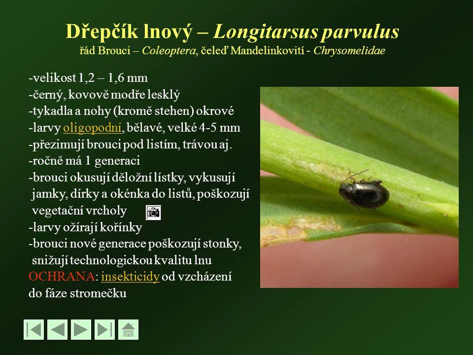 Dřepčík lnový – Longitarsus parvulus řád Brouci – Coleoptera, čeleď Mandelinkovití - Chrysomelidae