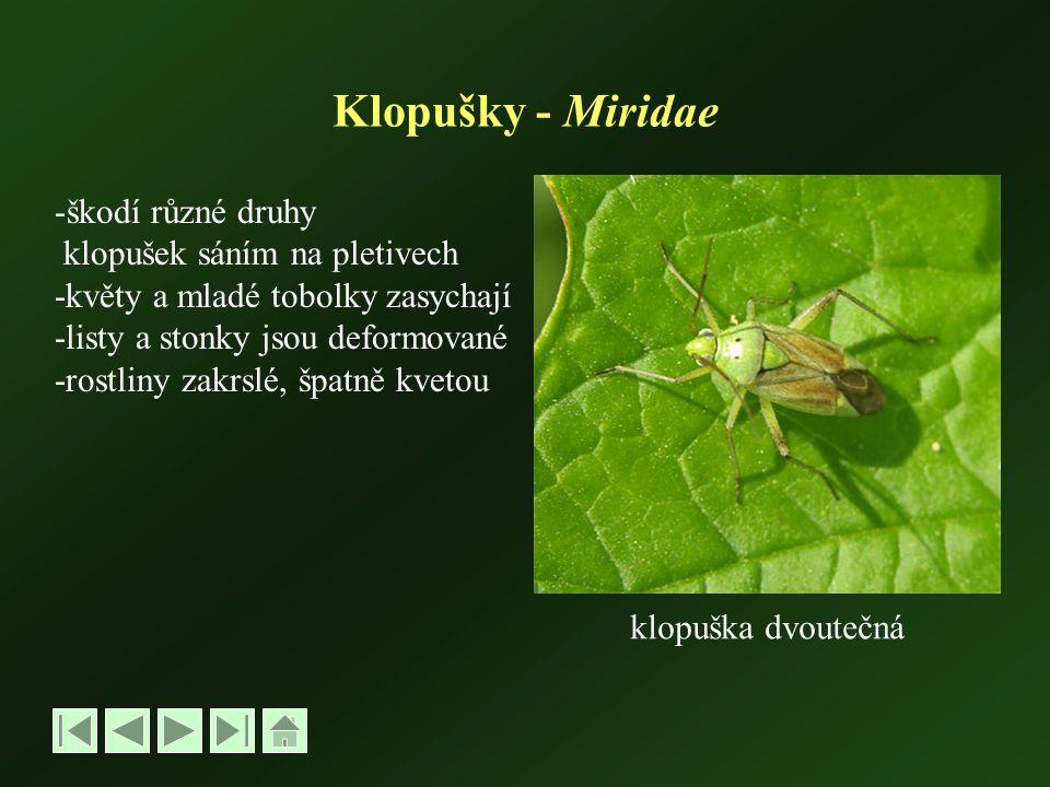 Klopušky - Miridae škodí různé druhy klopušek sáním na pletivech
