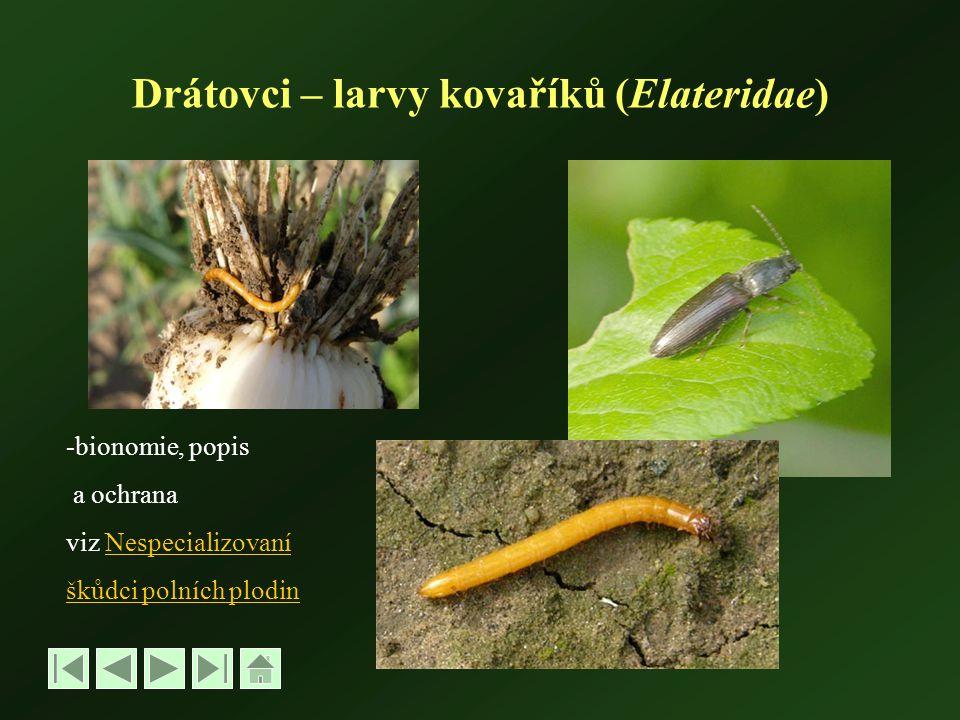 Drátovci – larvy kovaříků (Elateridae)