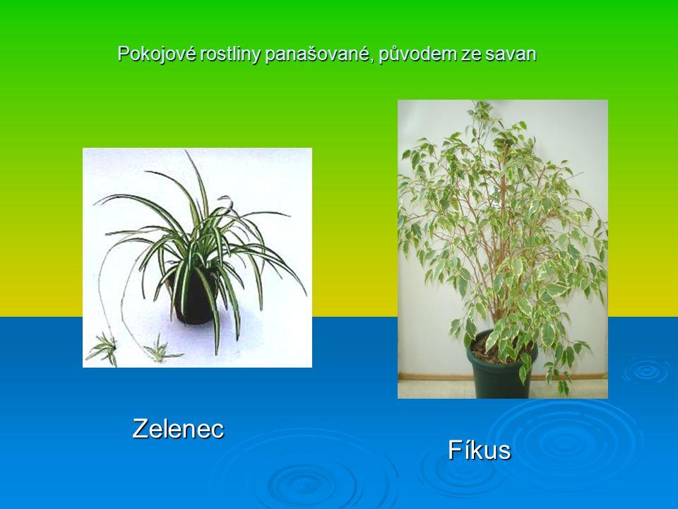 Pokojové rostliny panašované, původem ze savan