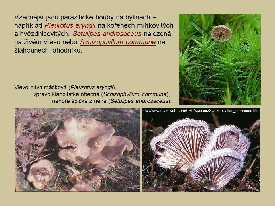 Vzácnější jsou parazitické houby na bylinách – například Pleurotus eryngii na kořenech miříkovitých a hvězdnicovitých, Setulipes androsaceus nalezená na živém vřesu nebo Schizophyllum commune na šlahounech jahodníku.
