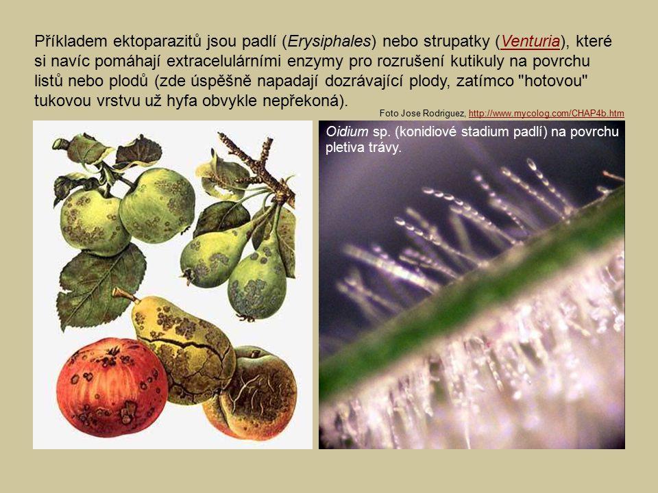 Příkladem ektoparazitů jsou padlí (Erysiphales) nebo strupatky (Venturia), které si navíc pomáhají extracelulárními enzymy pro rozrušení kutikuly na povrchu listů nebo plodů (zde úspěšně napadají dozrávající plody, zatímco hotovou tukovou vrstvu už hyfa obvykle nepřekoná).