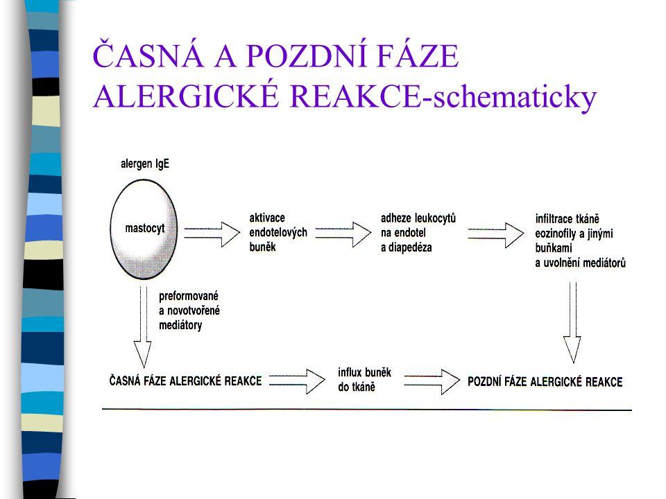 ČASNÁ A POZDNÍ FÁZE ALERGICKÉ REAKCE-schematicky