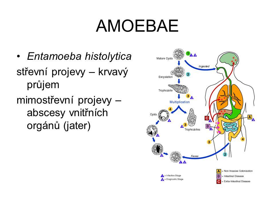 AMOEBAE Entamoeba histolytica střevní projevy – krvavý průjem