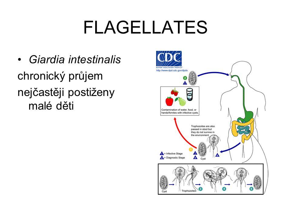 FLAGELLATES Giardia intestinalis chronický průjem