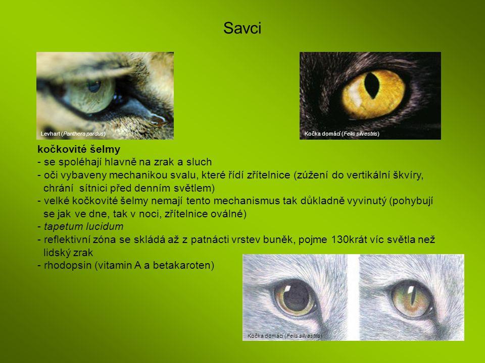 Savci kočkovité šelmy - se spoléhají hlavně na zrak a sluch