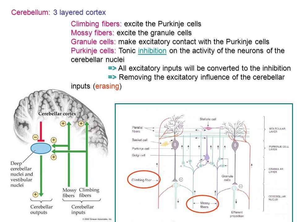 Cerebellum: 3 layered cortex