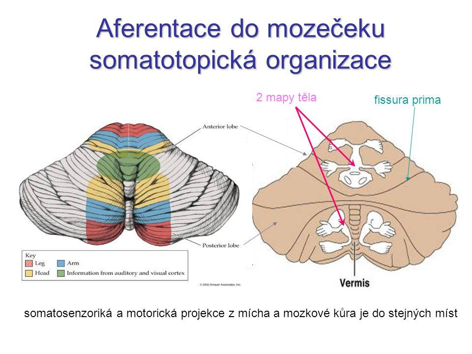Aferentace do mozečeku somatotopická organizace