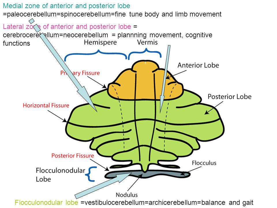 Medial zone of anterior and posterior lobe =paleocerebellum=spinocerebellum=fine tune body and limb movement