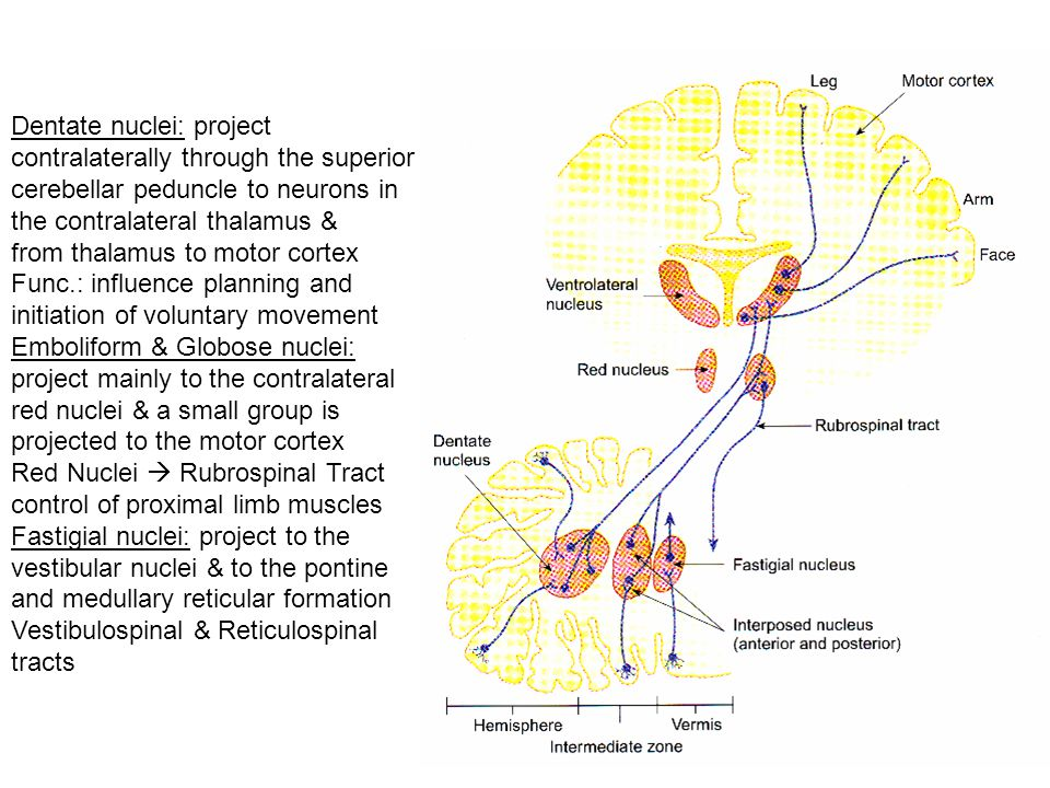 Dentate nuclei: project contralaterally through the superior cerebellar peduncle to neurons in the contralateral thalamus & from thalamus to motor cortex Func.: influence planning and initiation of voluntary movement