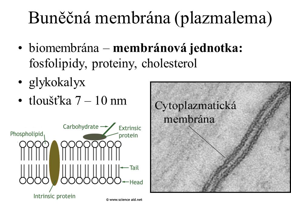 Buněčná membrána (plazmalema)