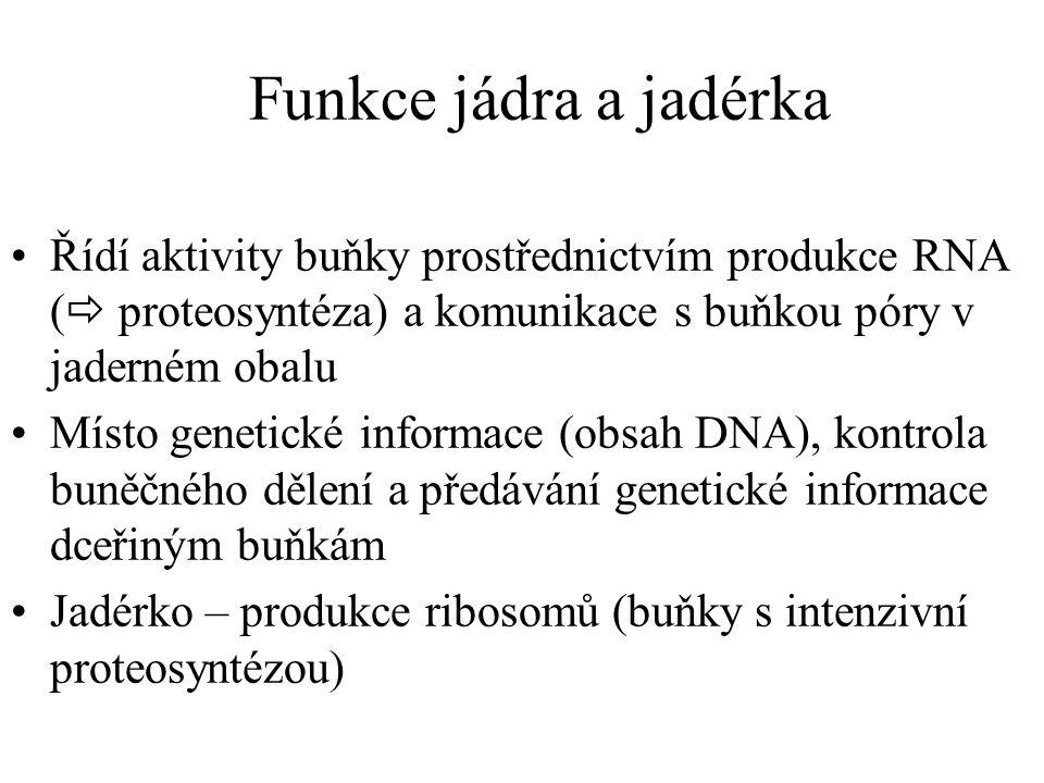 Funkce jádra a jadérka Řídí aktivity buňky prostřednictvím produkce RNA ( proteosyntéza) a komunikace s buňkou póry v jaderném obalu.