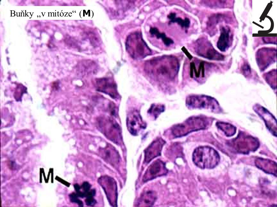 """Buňky """"v mitóze (M)"""