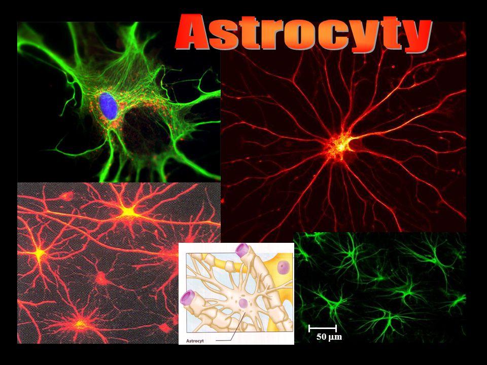 Astrocyty 50 m