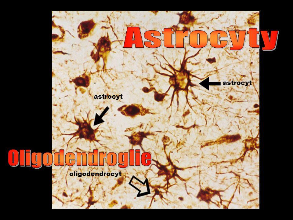 Astrocyty astrocyt astrocyt Oligodendroglie oligodendrocyt