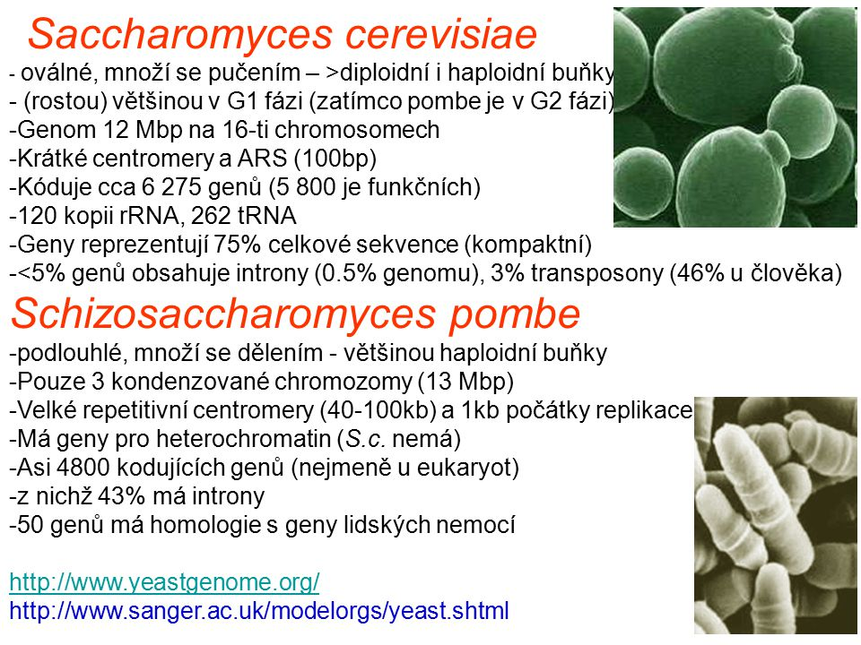 Saccharomyces cerevisiae