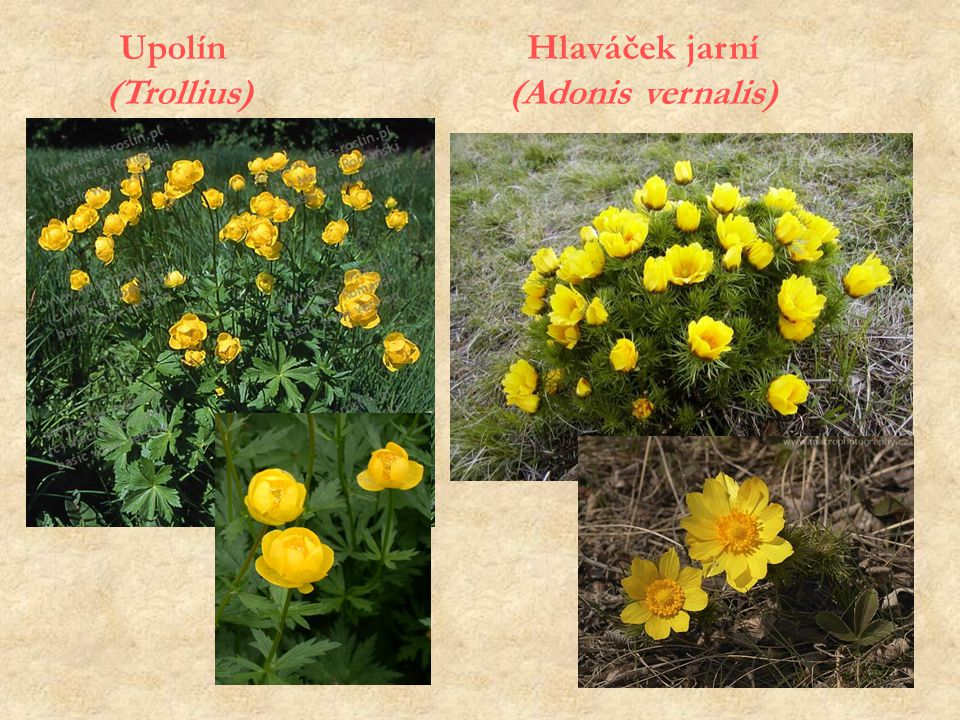 Upolín (Trollius) Hlaváček jarní (Adonis vernalis)