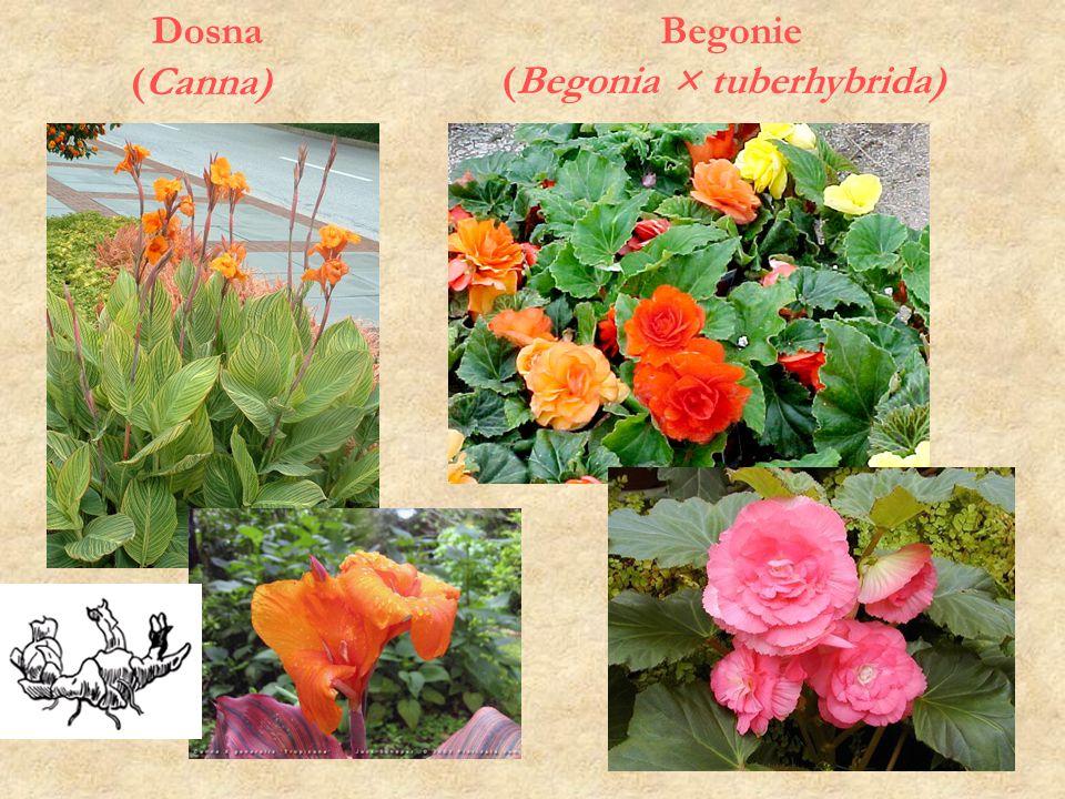 Begonie (Begonia × tuberhybrida)