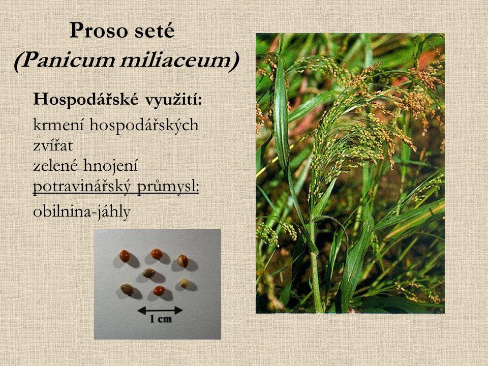 Proso seté (Panicum miliaceum)