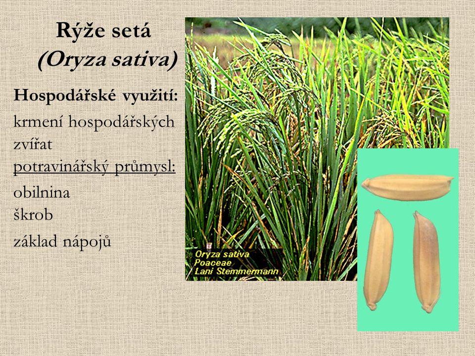 Rýže setá (Oryza sativa)