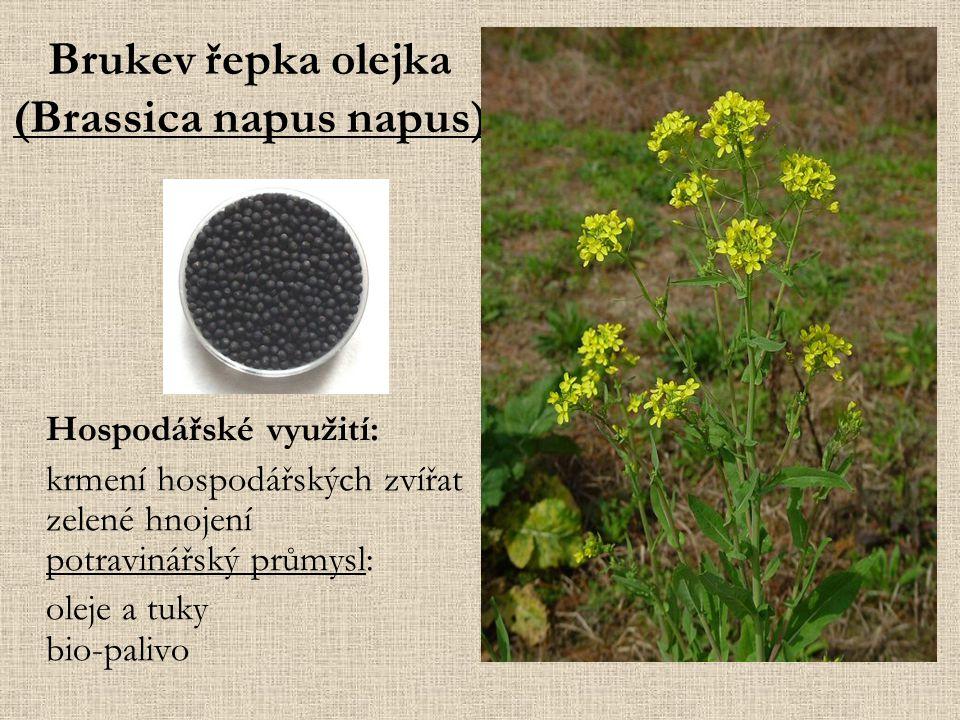 Brukev řepka olejka (Brassica napus napus)