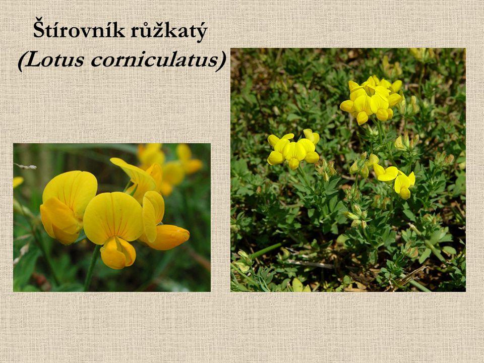 Štírovník růžkatý (Lotus corniculatus)