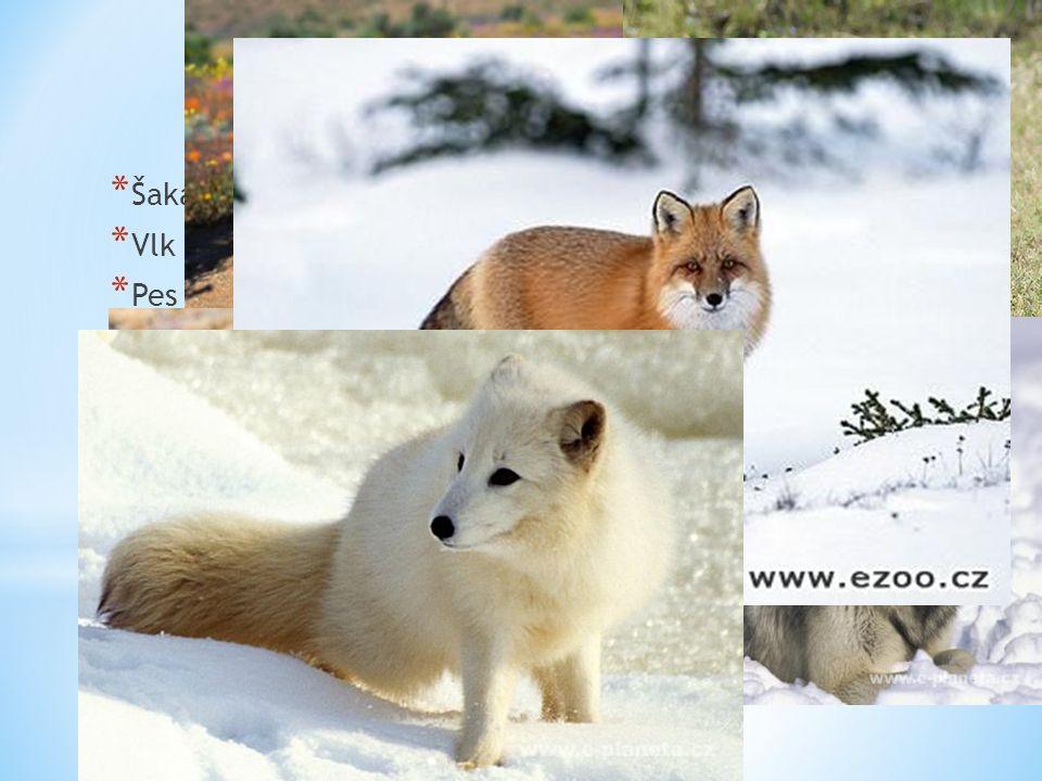 Zástupci Šakal obecný Vlk obecný Pes ušatý Pes horský Liška obecná