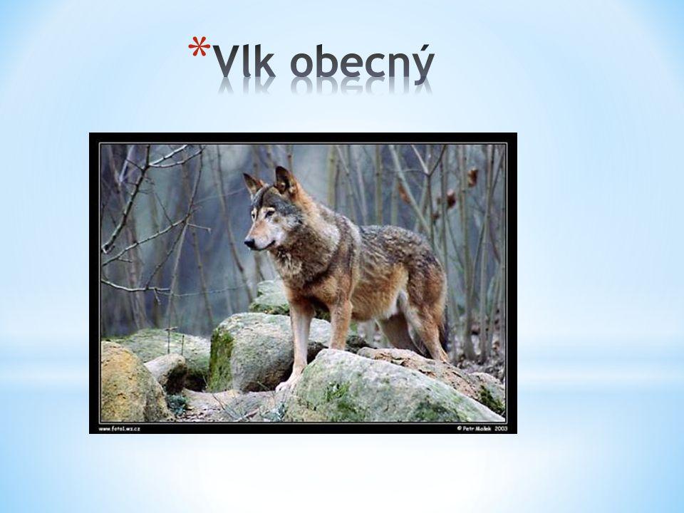 Vlk obecný Má mohutnější hlavu než pes Žije ve smečkách