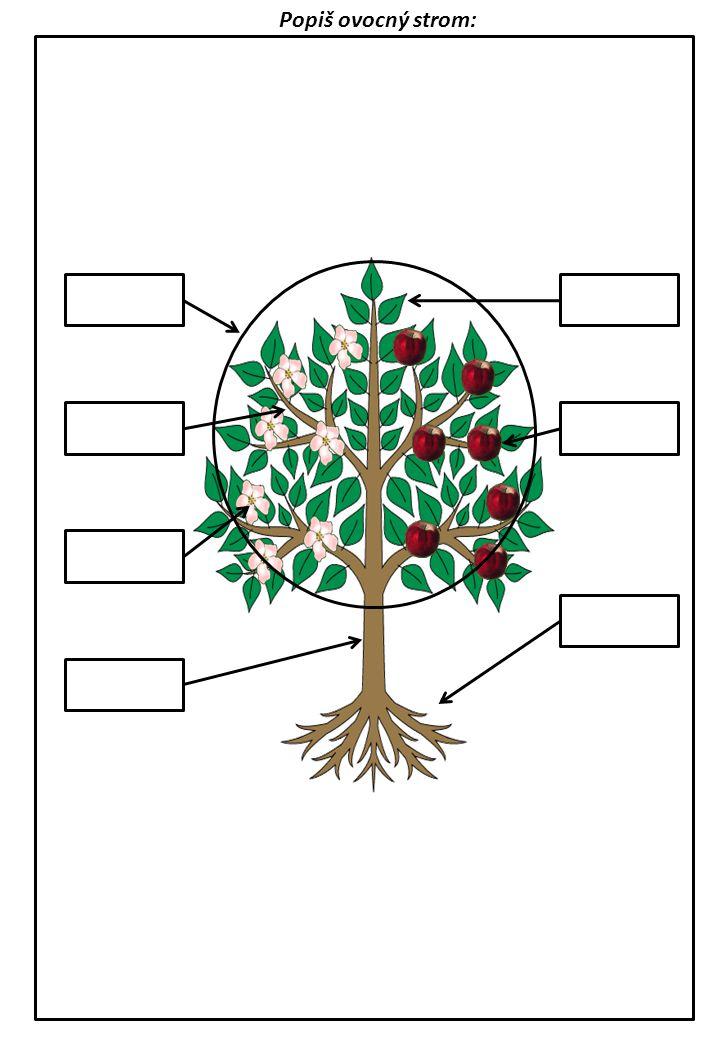 Popiš ovocný strom: KORUNA VĚTEV KMEN LISTY PLOD KOŘEN KVĚT